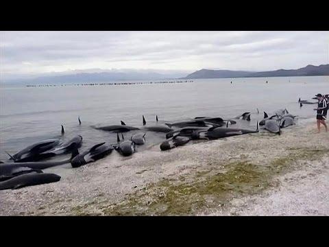N. Ζηλανδία: Επιχείρηση διάσωσης 400 φαλαινών