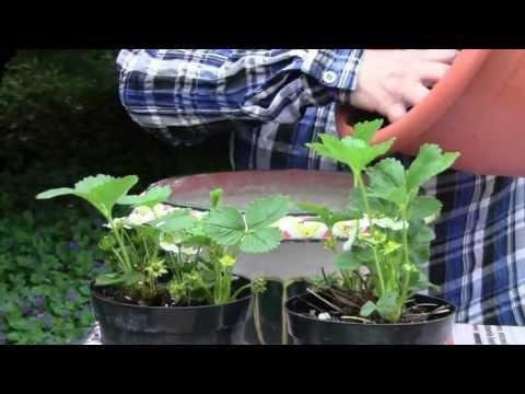 coltivare le fragole è facile