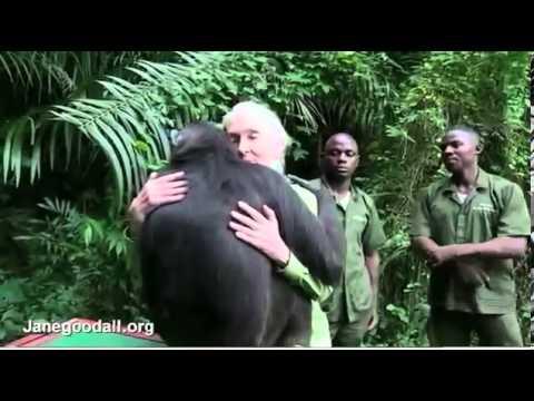 A csimpánz szabadon engedése