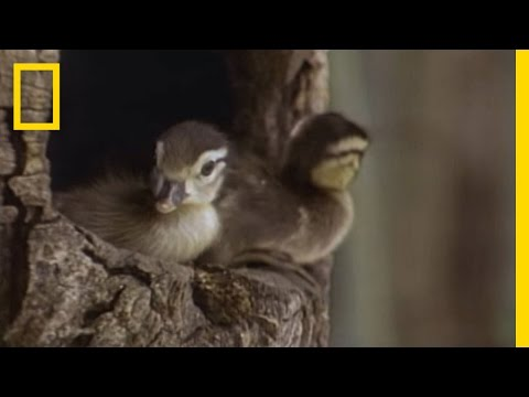 Tiny Ducklings Leap from Tree | National Geographic