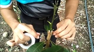 Video Cara Cantuman Baji Pokok Mangga Untuk Amatur | Kebun Bandar MP3, 3GP, MP4, WEBM, AVI, FLV Oktober 2018