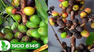 Trồng trọt | Vạch lá tìm sâu: Diệt tận gốc nấm thán thư gây hại cây cà phê