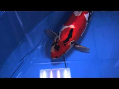 2013年全日本総合錦鯉品評会、椿賞、45部、ドイツ鯉