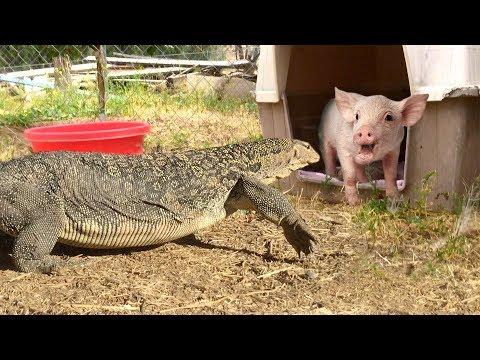 LIZARD walks inside Pig Pen--has PIG FOR DINNER
