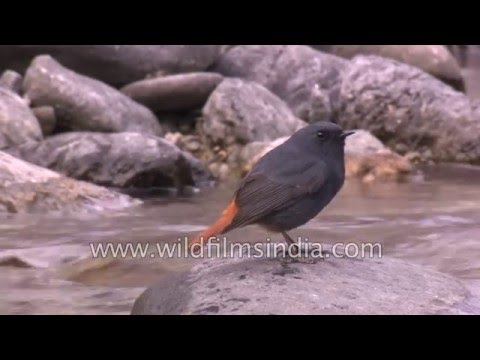 Plumbeous Redstart feeds in a Himalayan stream