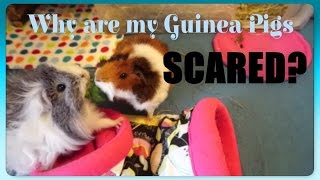 Why are my guinea pigs frightened of me? One of the top questions I get asked!Hopefully this video answers that question and says what you can do about it to help your piggies become more tame!If you want more advice on taming, please see my other videos on this, linked at the end of the video. If you found this useful, I'd love it if you could like, share, comment and subscribe!Facebook: https://www.facebook.com/SqueakDreams/Instagram: @squeak_dreamsEtsy: https://www.etsy.com/uk/shop/SqueakDreams