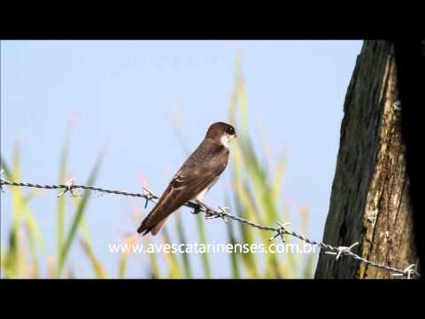 Andorinha-de-sobre-branco - Cristiano Voitina