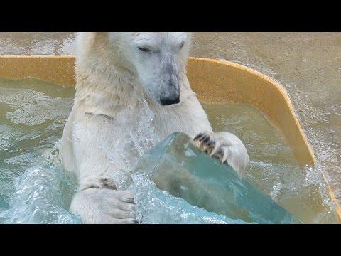 ホッキョクグマに氷柱の贈り物