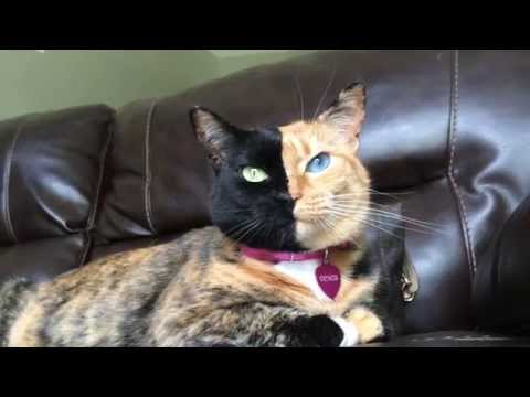 venus two face cat!
