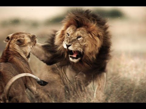 Lion Documentary National Geographic   Lion vs Hyena   HYENA LOST HER LEG! BRUTAL LION ATTACK