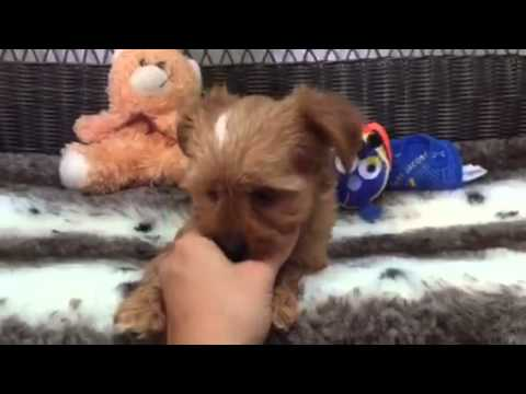 Affectionate cute gold Yorkie-Poo!