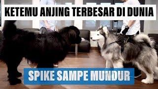 Video SPIKE ketemu anjing TERBESAR di dunia - VLOG ( MALAMUTE MEET NEWFOUNDLAND ) MP3, 3GP, MP4, WEBM, AVI, FLV Mei 2019