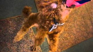 Little Buddy The Red Poodle Just Hanging Around CUTE FUNNY DOG