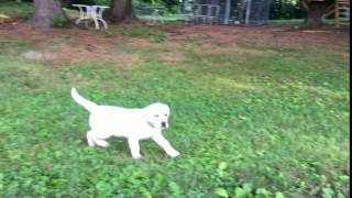 Yellow Lab Male white English style