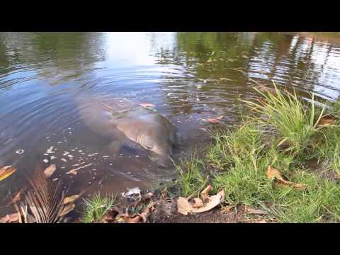 Peixe-boi no rio Tatuamunha