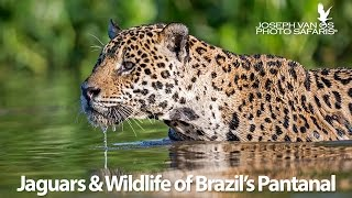 jaguars-wildlife-of-brazil