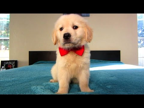 golden retriever puppy's first valentine's day