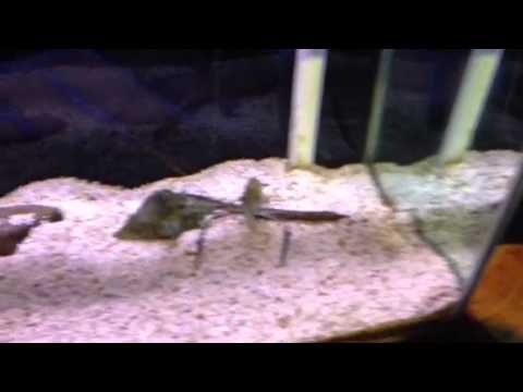 Giant freshwater prawn- National Zoo