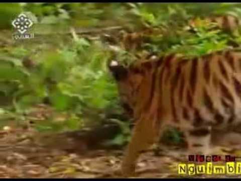 wredna-malpa-trolluje-tygrysa