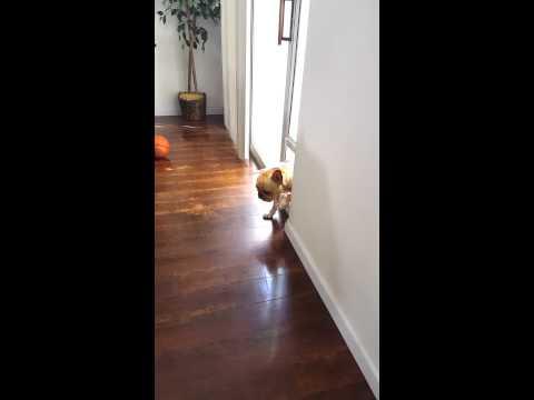 Este perro se da cuenta de lo que ha hecho y evita la situación