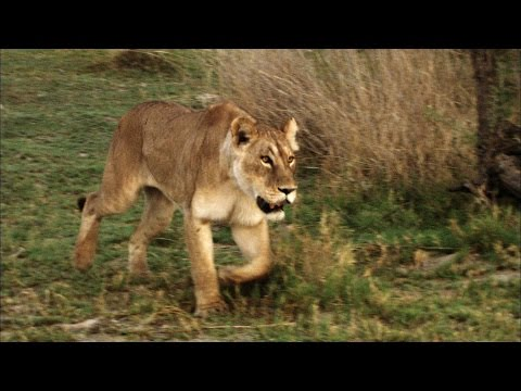 Shocking Video of a Cape Buffalo Attacking a Lioness