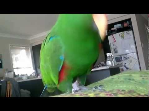 Milo the Eclectus Parrot – Sexy and he knows it.