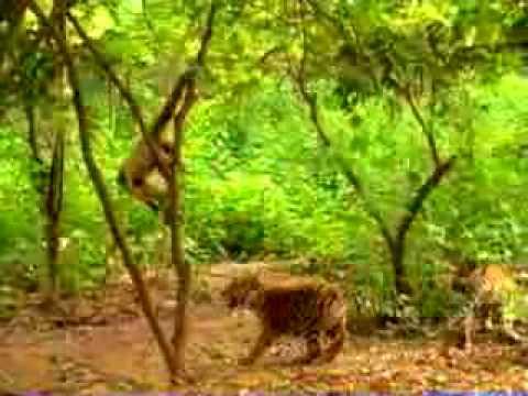 Majom és a tigris
