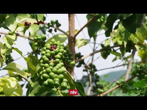 Chinas größte Kaffeeplantage in der Region Yunnan: Di ...