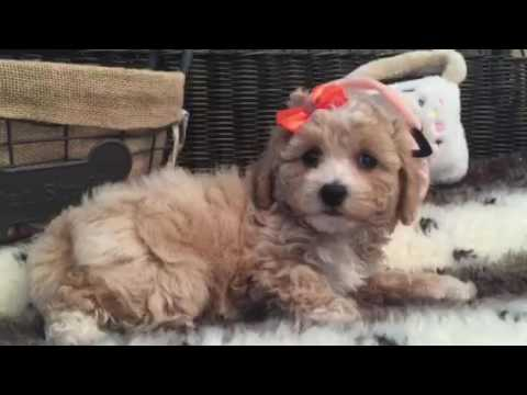 Curly, lovable Maltipoo female