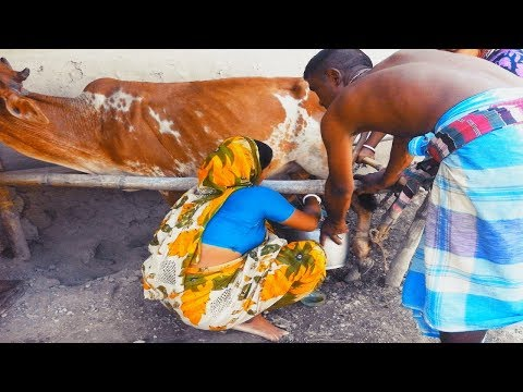 Video Red cow milking by village women | Traditional way to milk cow | Milking process download in MP3, 3GP, MP4, WEBM, AVI, FLV January 2017