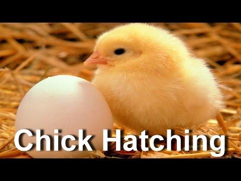 Baby Chick Hatching | Egg Hatching (видео)