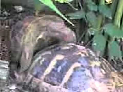 Video Turtle sex .3gp download in MP3, 3GP, MP4, WEBM, AVI, FLV January 2017
