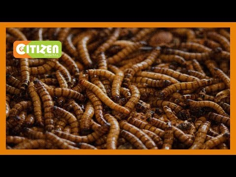 Maggots used to treat stubborn wounds