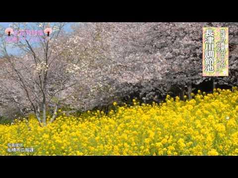 アドスポットお花見特集-長津川調節池-
