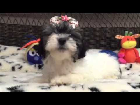 Sweetheart Mal-Shi puppy