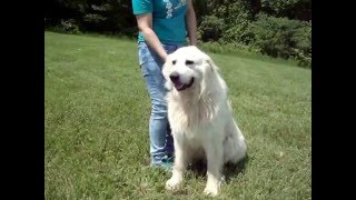Lewisport (KY) United States  City new picture : Balloo, the Great Pyrenees Needs a Home!
