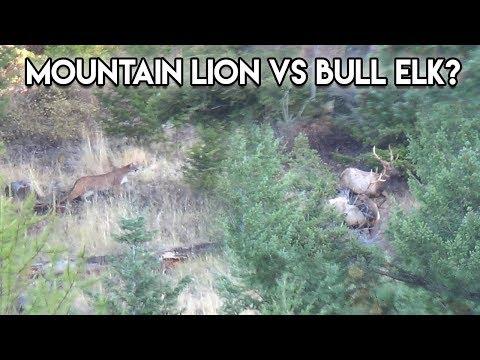 Mountain Lion stalks two Bull Elk in N.W. Montana