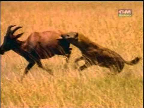 Hyenas attack a deer ไฮยีนาจู่โจมเนื้อทราย
