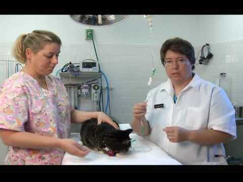 How to Give a Cat Subcutaneous Fluids at Home