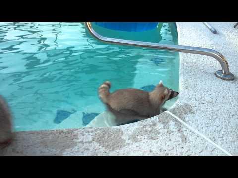 Raccoon swims in pool