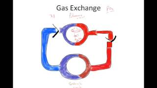 Gas Exchange In The Respiratory System
