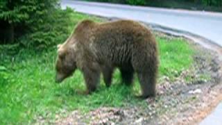 Sinaia Romania  city photos : Brown Bears in Sinaia, Romania