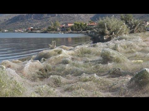 Γιγαντιαίο Πέπλο από ιστούς αράχνης στην Παραλία του Αιτωλικού