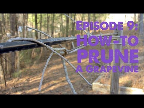 How-to Prune a Grapevine: S1:Episode 9