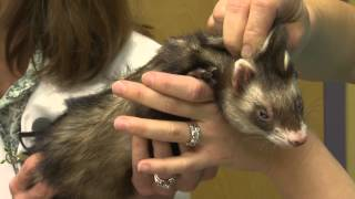 Ferret Aquapuncture - Exotic Pet Vet Webisode
