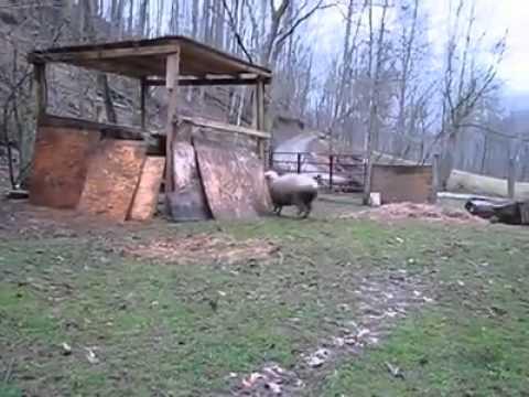 Kad ovca pomisli da je pas (ovca i pas se jure i igraju)
