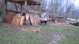 Watch This Sheep Playing With Dog Is Hilarious :))