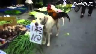 Собака — петуховпродавака
