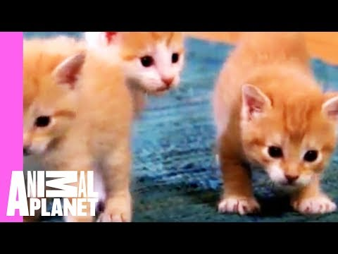 kittens - Noodles and Chedder get up close and personal with the family guinea pig. Tune in Saturdays @ 9pm on Animal Planet | For more visit http://animal.discovery.c...