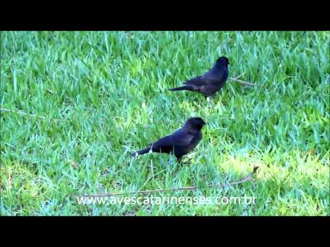 Pássaro-preto - Cristiano Voitina